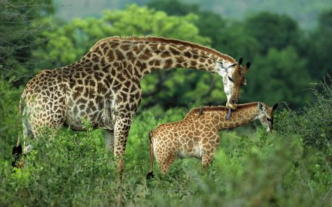 家庭长颈鹿