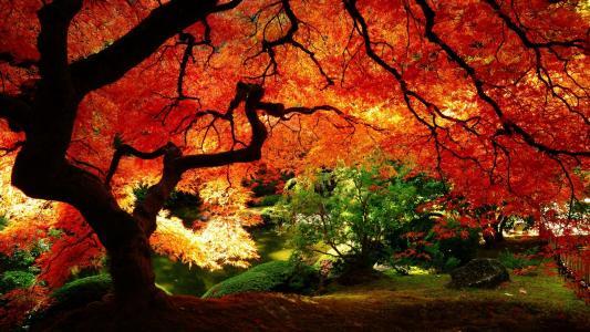 桃花心木在秋天的森林里