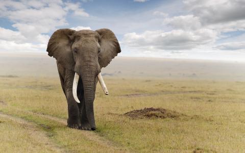 雄伟的大象在路上行走