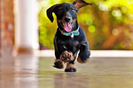快乐的腊肠犬奔跑