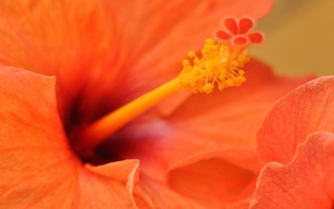 橙色的芙蓉