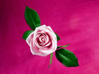 酷粉色玫瑰
