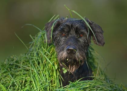 坐在绿草的黑雪纳瑞狗