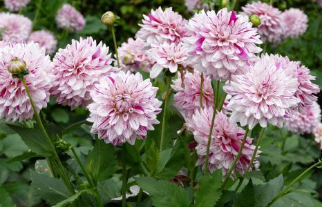粉红色的花朵大丽花特写