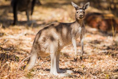 澳大利亚袋鼠站在干草地上