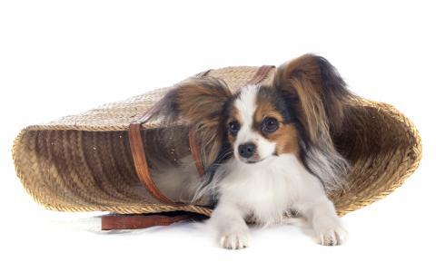 奇瓦瓦狗狗躺在白色背景上的草篮