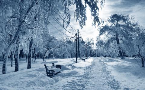 在寒冷的冬季公园覆盖白霜白桦树