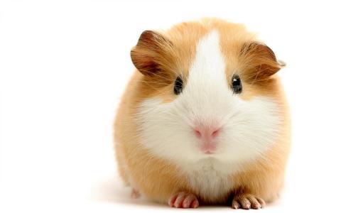 厚实的豚鼠