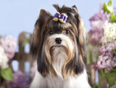 可爱的约克夏犬