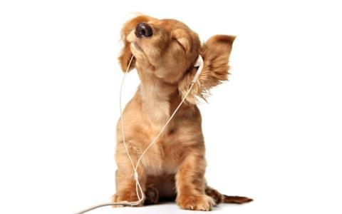 狗热情地在耳机上听音乐