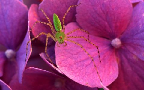 蜘蛛在粉红色的花朵上