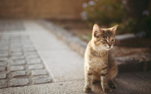 新加坡猫的猫