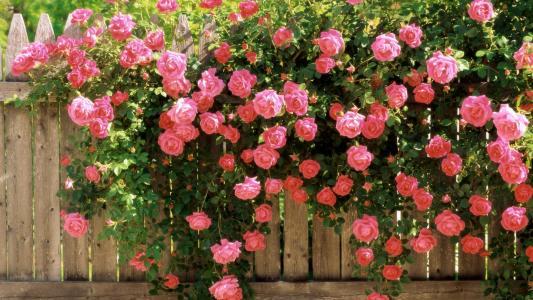开花的篱芭