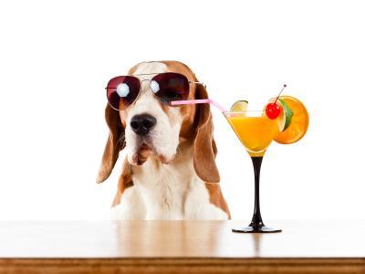 短裤猎犬在眼镜喝柑橘鸡尾酒