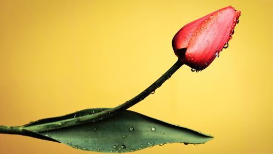 与露珠的红色郁金香在黄色背景滴下