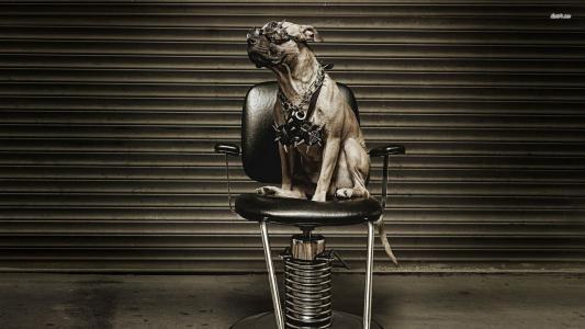 Pitbull在椅子上