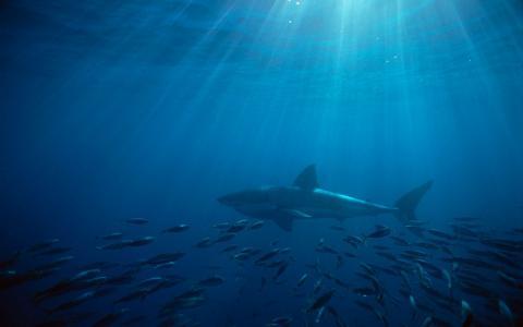 澳大利亚的大白鲨