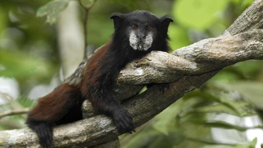 绢毛猴在秘鲁国家公园
