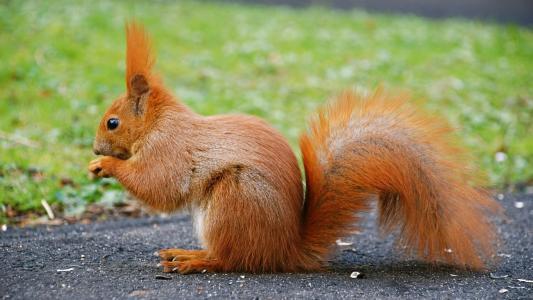橙色的松鼠