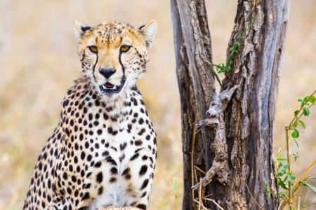 优雅的猎豹坐在一棵干树上