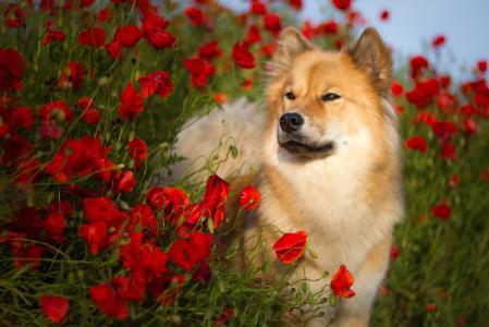 品种Evrazier的狗在夏天站立在红色罂粟花