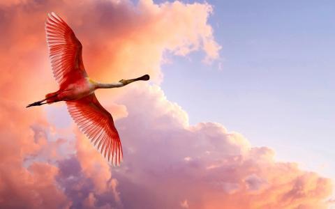 粉红色的苍鹭