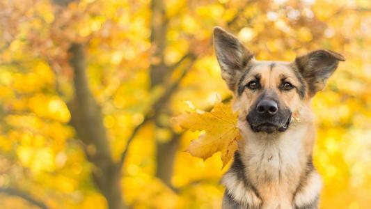 德国牧羊犬与黄色的秋天叶在牙齿上