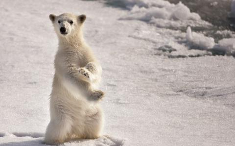 北极熊后腿