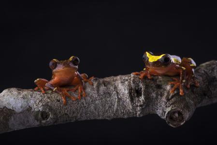 两个小棕色的青蛙坐在一个木制的树枝上