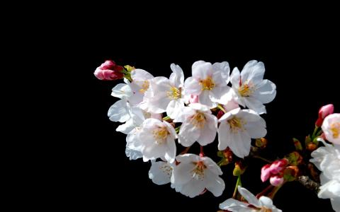 日本樱桃花在黑色背景上