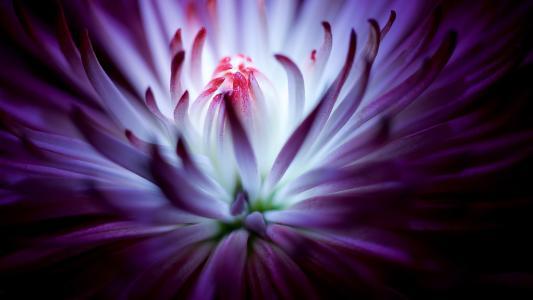 淡紫色的菊花薄瓣