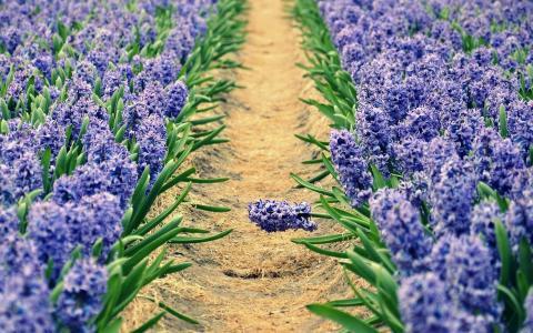 与春天风信花的花圃在春天太阳下开花