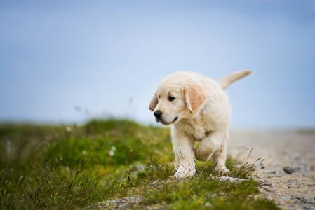 走在绿草的金毛猎犬小狗