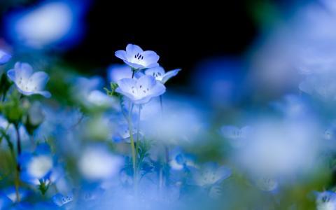勿忘我的春天的花朵