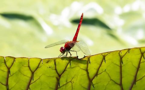 在叶子上的蜻蜓