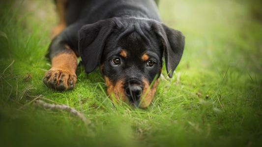 一只伤心的罗威纳小狗躺在绿色的草地上