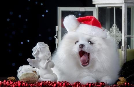 蓬松的白色斯皮茨与新年装饰,象征着新的一年2018年