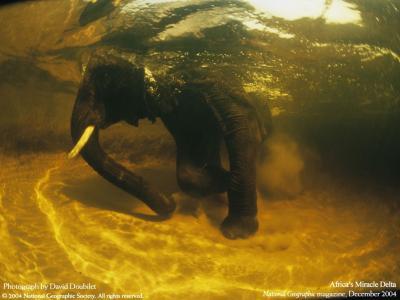 在水下的非洲大象
