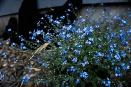 蓝色的花卉植物忘我