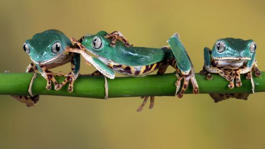 三个绿色的青蛙坐在绿色的树枝上