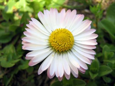 美丽的春天雏菊