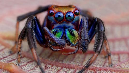 彩虹毛茸茸的蜘蛛