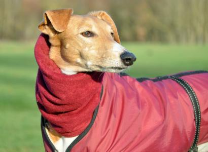 在温暖的衣服的狗Saluki