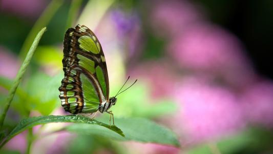 绿色的蝴蝶
