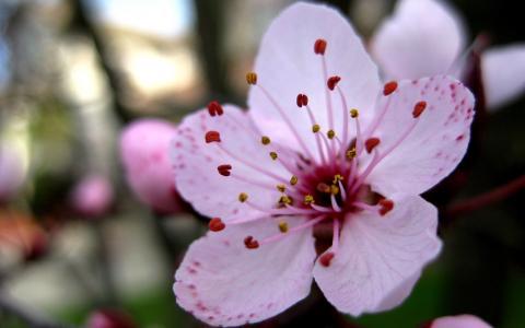 樱花扩大的花
