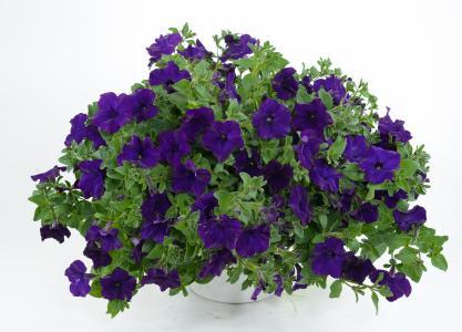 喇叭花紫罗兰色花在一个花瓶的在白色背景