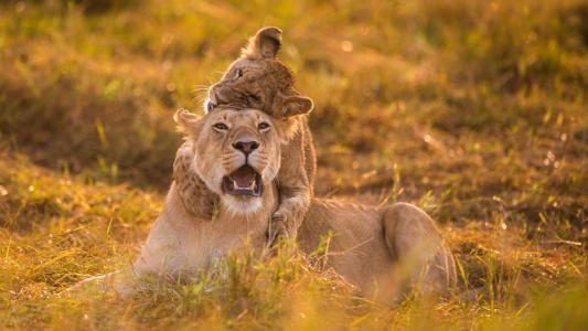 母狮和幼崽在草地上