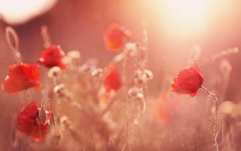 猩红色罂粟的领域