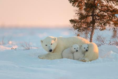 白熊和两个婴儿