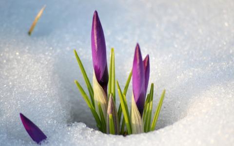 春天的花朵在雪地里